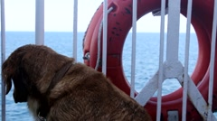 Golden Retriever Dog pet in ship Stock Footage