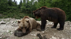 Grizzly bears in forest Stock Footage