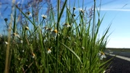 Detail of daisy flowers - road in the countryside next to the grass with cars  Stock Footage