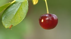 Growing cherry and falling ant. Close-up. Stock Footage