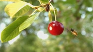 Cherry and a wasp. Slow motion. Close-up. Stock Footage