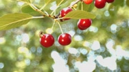 Cherry and the wasps. Slow motion. Close-up. Stock Footage