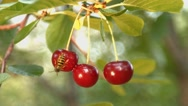 Three growing cherries and two wasps. Slow motion. Close-up. Stock Footage