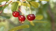 Three growing cherries and wasp. Slow motion. Close-up. Stock Footage