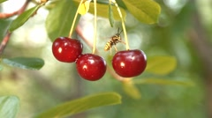 Wasp and three growing cherries. Slow motion. Close-up. Stock Footage