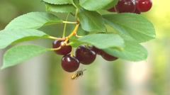 Wasp on a cherry. Slow motion. Close-up. Stock Footage