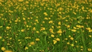 Summer meadow with dandelions and grass - detail Stock Footage