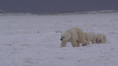 Slow motion - polar bear family on sea ice with giant waves Stock Footage