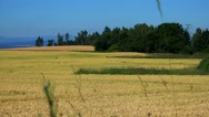 Nature - field with plants (wheat) and trees - sunny day (blue sky) - closeup Stock Footage
