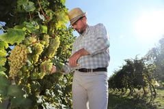 Grapes harvest, Winemaker in vineyard Stock Photos
