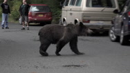 Grizzy Bear Shaking Off Water and Crossing Road in Front of Tourists Stock Footage