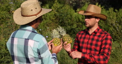Two Agriculturists Men Inspecting Pineapples and Talking About Exotic Farming Stock Footage