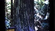 1968: giant redwood tree zilt up to the highest top limbs COTTONWOOD, ARIZONA Stock Footage