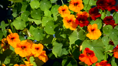 Red, orange and yellow nasturtiums Stock Footage