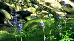 Detail of blue flower in the forest - river with stones in background Stock Footage