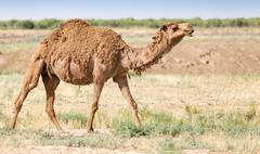 Portrait of a camel in nature Stock Photos