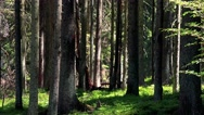 Nature - forest (trees) - sunny day - closeup Stock Footage