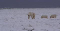 Mother polar bear and cubs walk on ice as storm waves break Stock Footage