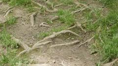 Tree vascular plants roots above the soil 4K 2160p 30fps UltraHD tilting Stock Footage