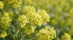 Beautiful yellow flowers of Oilseed rape shallow DOF on wind close-up. Stock Footage