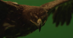 Medium shot of a brown eagle with open wings on a green screen in slow motion  Stock Footage