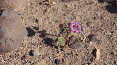 4K time lapse of a lone pink Desert Five-Spot flower blooming in Death Valley Stock Footage