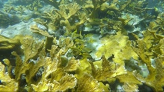 Field of healthy Elkhorn Coral on reef Stock Footage