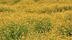 A field of bright yellow flowers Stock Footage