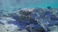 School of Blue Tangs and French Angel fish Stock Footage