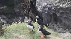 Three Atlantic puffins standing at the edge of the cliff Stock Footage