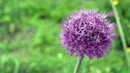 Onion giant flower Stock Footage