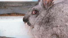 Grey rabbit wiggle nose Stock Footage