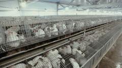 Many rabbits on the farm Stock Footage
