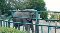 The African bush elephant at zoo. Wild animals in captivity Arkistovideo