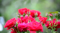 Very beautiful bright red roses on the bush Stock Footage