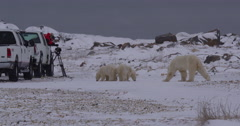 Polar bear and cubs dangerously close to camera crew in truck Stock Footage