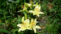 Yellow varietal large lily in flowerbed Stock Footage