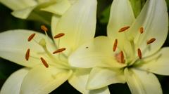 Yellow varietal large lily close up Stock Footage