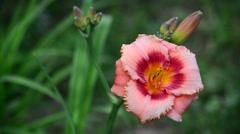 Pink varietal Hemerocallis against backlight Stock Footage