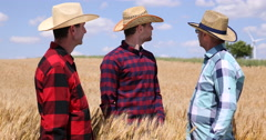 Agriculturist Men Teamwork Inspecting Wheat Rows and Examining Grains Quality Stock Footage