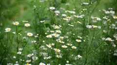 Chamomile field swaying in light breeze Stock Footage