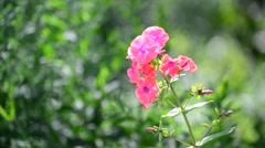 Beautiful bright pink varietal phlox close-up Stock Footage