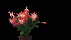 Time-lapse of growing and blooming pink Christmas cactus in RGB + ALPHA matte Stock Footage