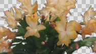 Time-lapse of growing and blooming orange Christmas cactus with ALPHA Stock Footage