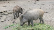 The wild boars eating (Sus scrofa) Stock Footage