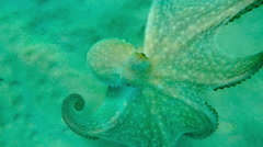 An octopus in Aegean sea Stock Footage