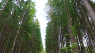 Dirt road through pine forest. Nature landscape. Stock Footage