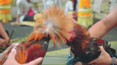 Two balinese man playing with angry roosters Stock Footage