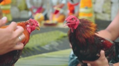 Two balinese man playing with angry roosters, close up Stock Footage
