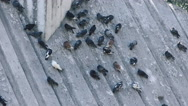 Pigeons in park on inclined plane Stock Footage